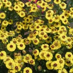 Helenium 'Blütentisch'