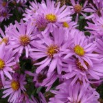 Aster amellus Lady Hindlip