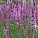 Salvia nemorosa 'Amethyst'