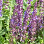 Salvia nemorosa 'Blaukönigin'