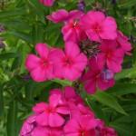Phlox paniculata 'Aida'