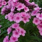 Phlox × arendsii 'Babyface'
