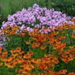 Phlox paniculata 'Frank Schubert' a Helenium 'Waltraut'