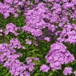 Phlox paniculata 'Lila Miniatur'
