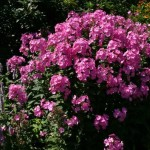 Phlox paniculata 'Little Princess'