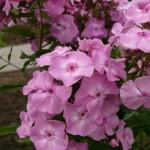 Phlox paniculata 'Miss Olga'