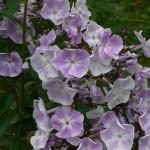 Phlox paniculata 'Prospero'