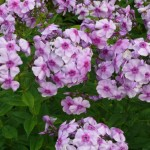 Phlox paniculata 'Rayonant'
