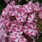 Phlox paniculata 'Swerings Flage'