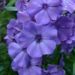 Phlox paniculata 'Blauer Morgen'