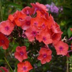 Phlox paniculata 'Freudenfeuer'