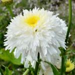 Leucanthemum × superbum 'Fiona Coghill'