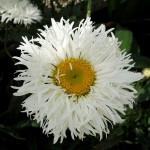 Leucanthemum × superbum 'Shapcott Ruffles'