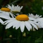 Leucanthemum × superbum 'Snowcap'