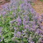 Nepeta racemosa 'Six Hills Giant'