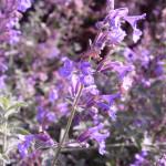 Nepeta racemosa 'Walkers Low'