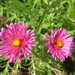 Aster novae-England Harrington Pink