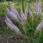 Veronicastrum Spring Dew