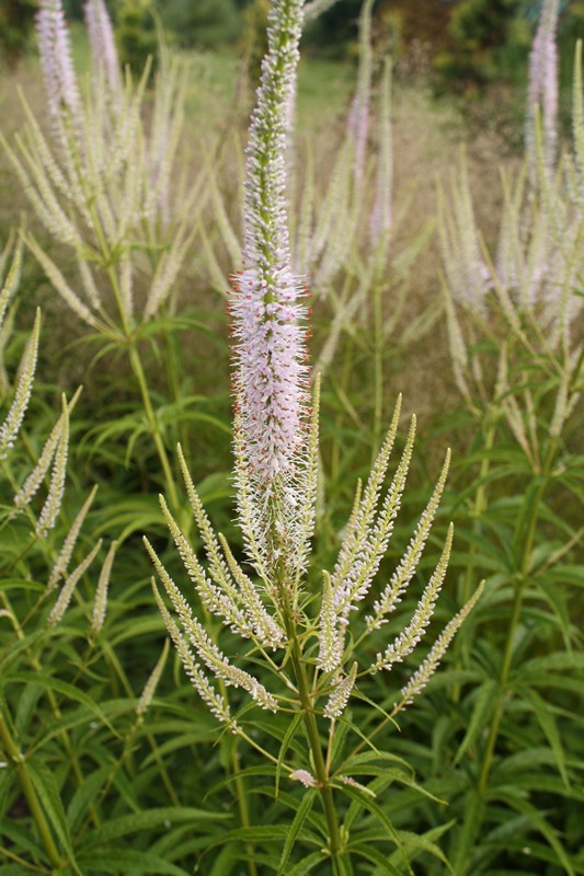 Veronicastrum_virginicum_Apollo
