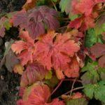 Geranium-macrorrhizum-´Ingversen´sVariety podzimni barva listu