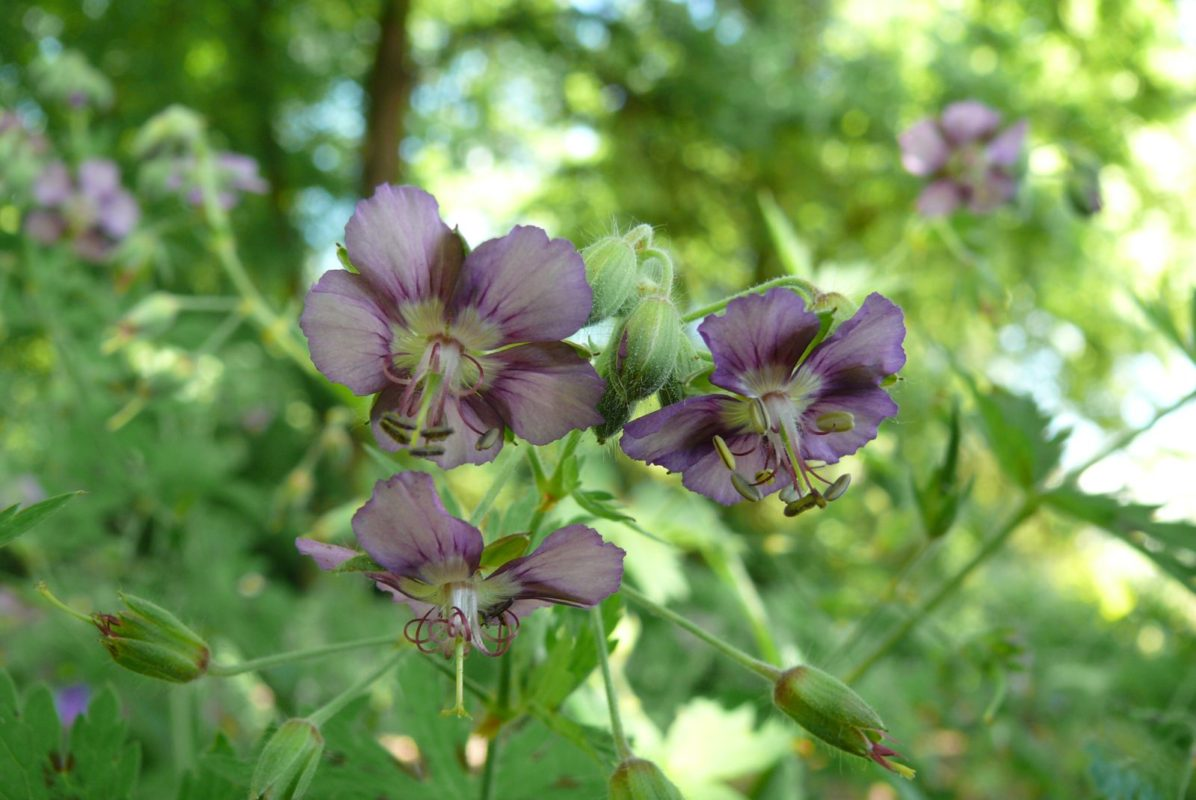 Geranium-phaeum David Bromley