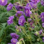 Geranium-pratense Plenum VIolaceum