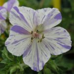 Geranium pratense Splish SplashGeranium pratense Splish Splash