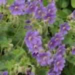 Geranium renardii Terre Franche