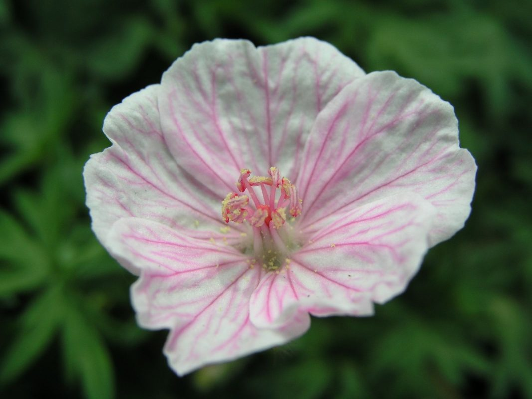 Geranium sanguineum var. striatum