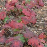 Geranium wlassovianum Blue Star podzimni zbarveni listu