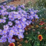 nádherná velkokvětá astra chlumní (Aster amellus 'Silbersee') - fotka z konce léta, takže kokardy a levandule jsou již odkvetlé