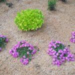 růžová mydlice (Saponaria 'Bressingham') a zlatá dobromysl (Origanum vulgare 'Aureum') - foto asi 2-3 týdny po výsadbě, rostliny se teprve ujímají