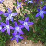 zvonek dalmatský (Campanula portenschlagiana 'Resholt') - ideální na lem záhonu