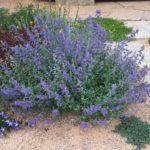 šanta (Nepeta ×faassenii 'Kit Cat') - jeden z nejlepších kultivarů, vlevo tmavý pryšec (Euphorbia polychroma 'Bonfire'), pravo vzadu mezi šlapáky Mazus reptans - chvíli po výsadbě a už 'jede'