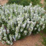 šalvěj hajní (Salvia nemorosa 'Sensation White') - kompaktní bělokvětý kultivar od Syngenty, bohužel po odkvětu nečistí tak dobře, jako 'Schneehügel'