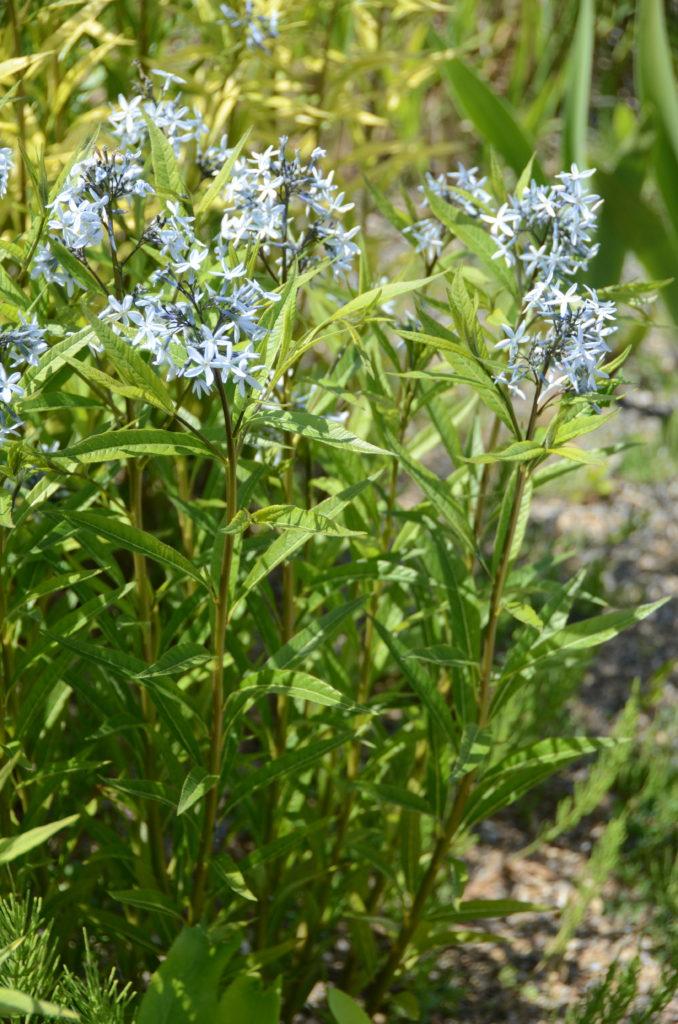 amsonia tabernaemontana salicifolia